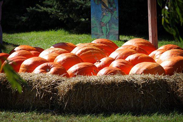 Pumpkin Festival - Huge Pumpkins