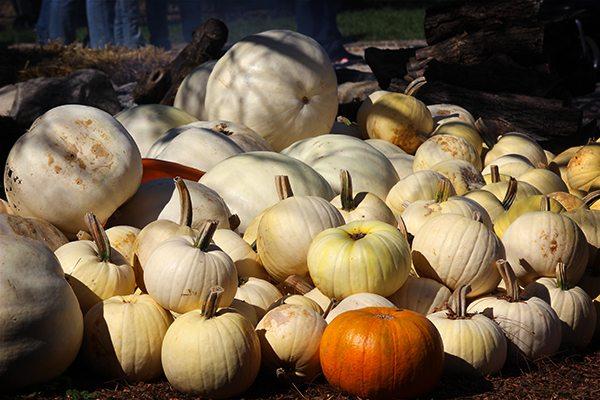 Pumpkin Festival - White Pumpkins
