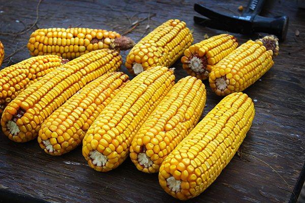 Pumpkin Festival - dried corn