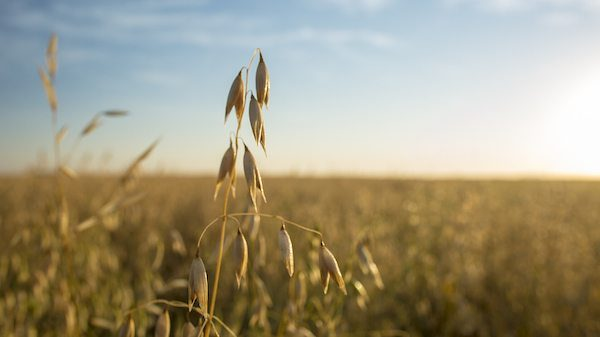 Spotlight on Organic Oats