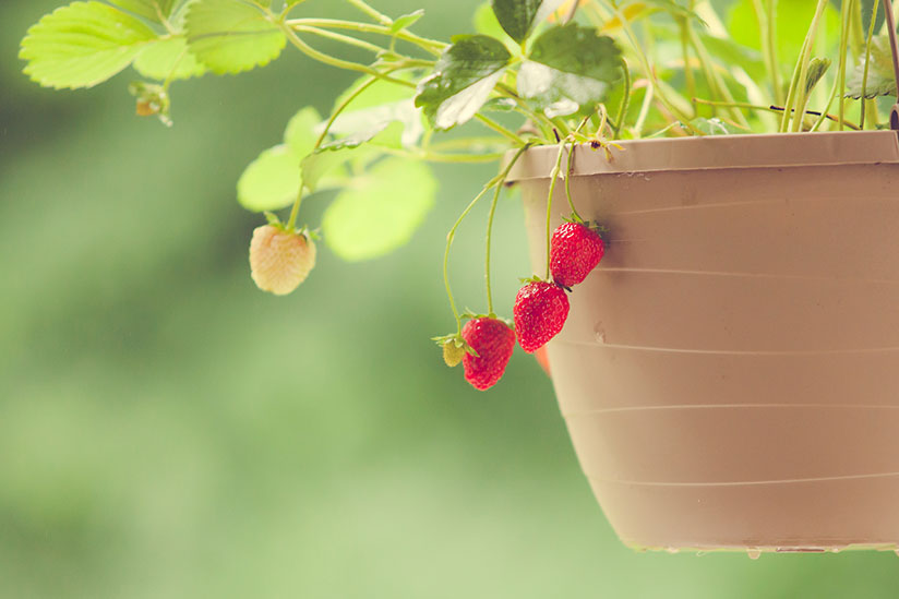 Fully ripe quinault strawberries hanging outside brown hanging basket