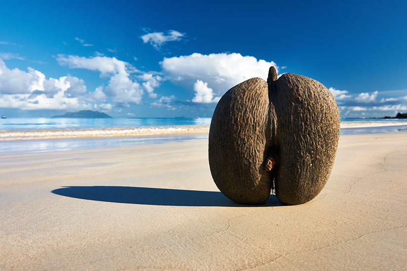 Double coconut fruit in the middle of an empty beach with ocean on background