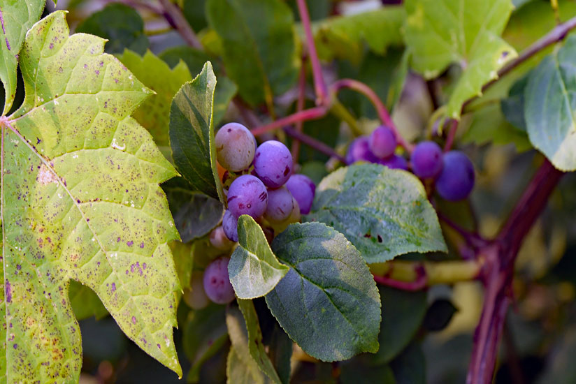 Ready to pick purple fox grapes hanging on its branch