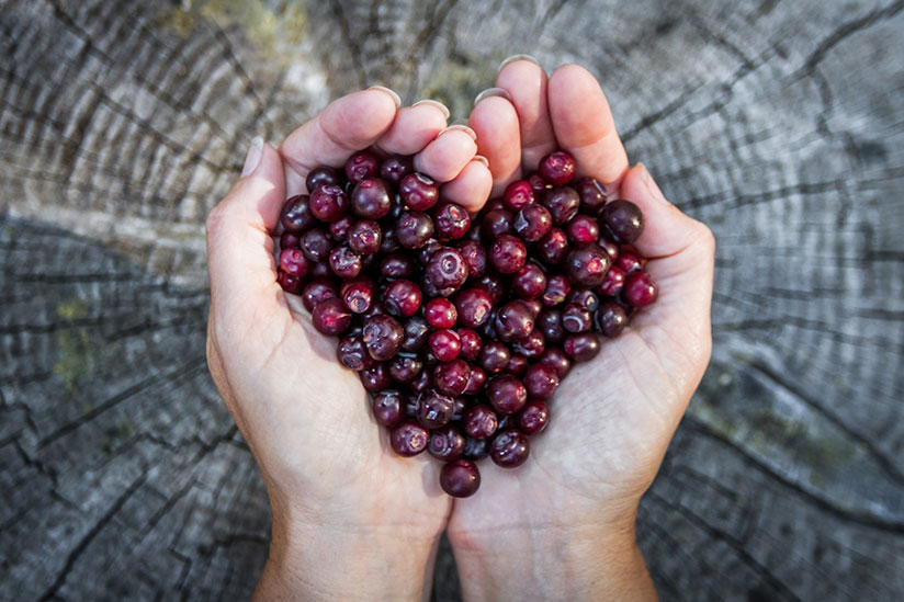 Hands cupping huckleberries forming a heart with gray wood on background