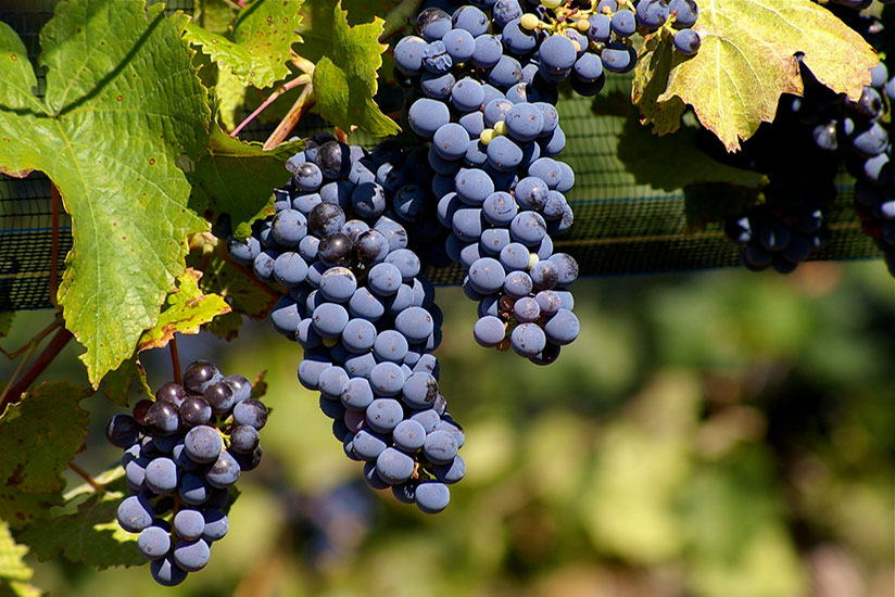 Bunch of zinfandel grapes hanging in vines on green blurry background