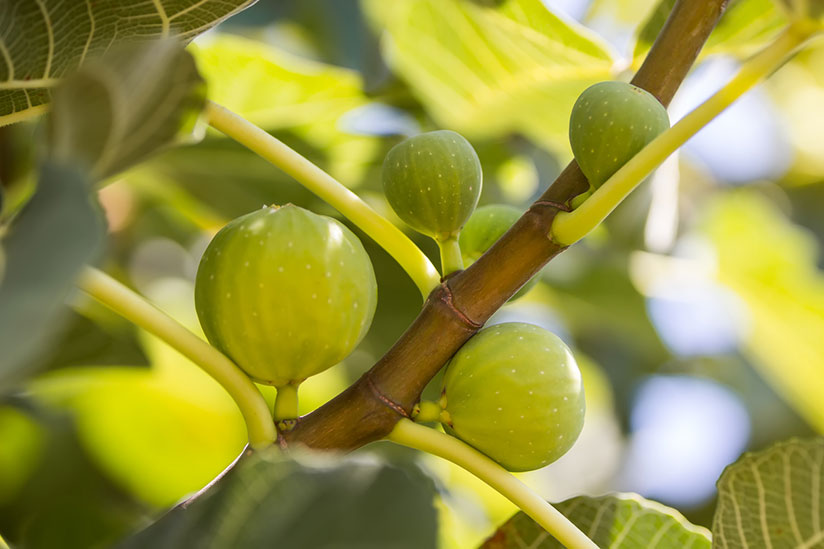 Unripe baby figs growing on a branch with blurry nature background