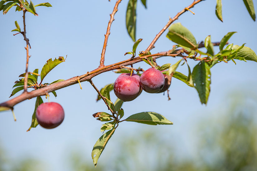 Sloe plums hanging on tree branch with blue sky on background