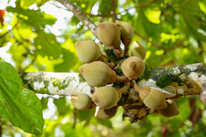 Bunch of zapote fruits hanging on a tree branch with green nature on background